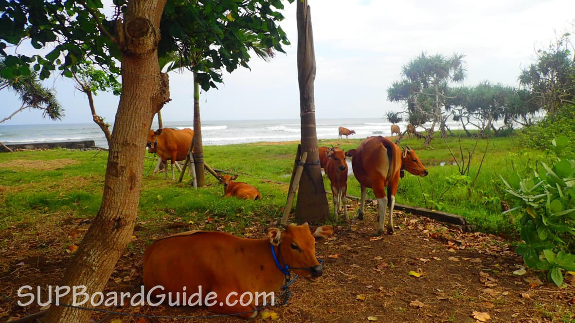 Medewi beach with cows