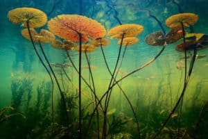 Water lilies in a desert are so uncommon that it only occurs in 10% of the world's total arid wastelands.